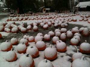 pumpkins and snow in back yard