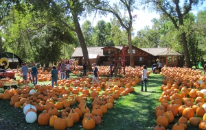 back yard full of pumpkins and people lo