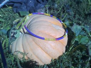 That's a hula hoop lying on one of the Giant pumpkins on display at Papa's!