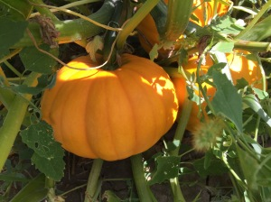 pumpkins are turning - 1